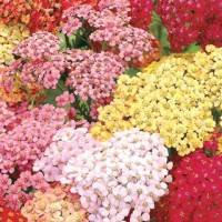 Drought Resistant Rainbow Yarrow Mixture