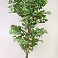 Small Silk Maple Tree